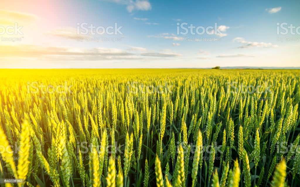 Green field of sprouting wheat. stock photo