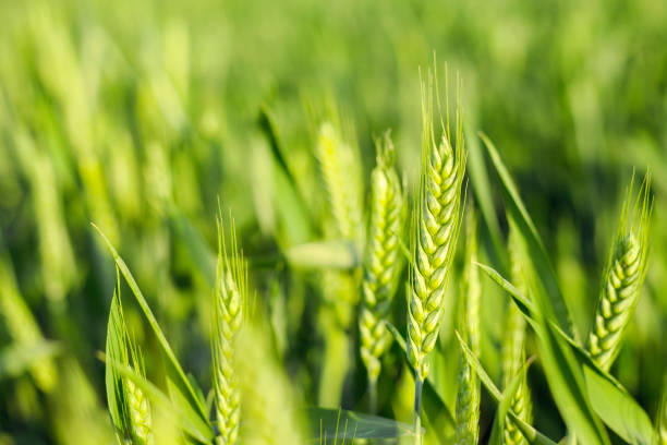 Green field of sprouting wheat stock photo