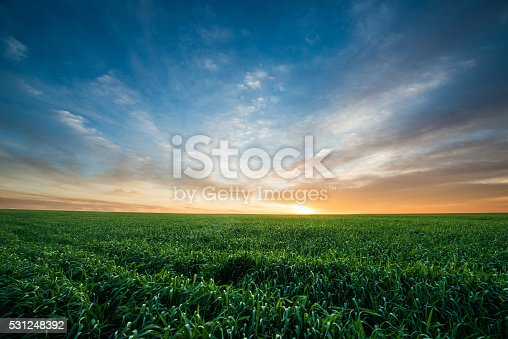 Green field of wheat at sunrise