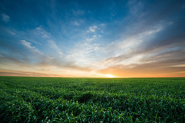 Green field of wheat at sunrise Green field of wheat at sunrise horizon over land stock pictures, royalty-free photos & images