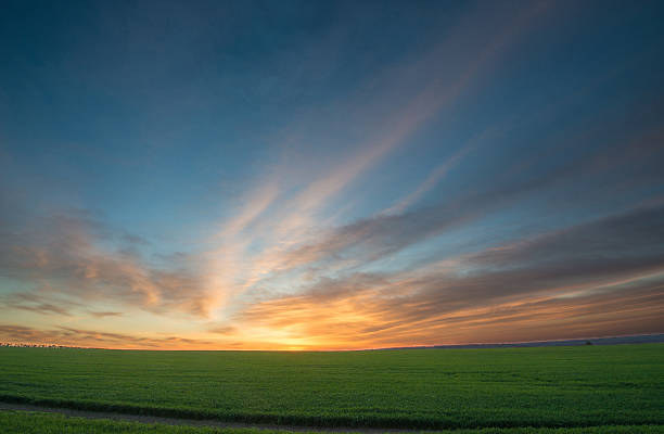 Green field of wheat at sunrise stock photo