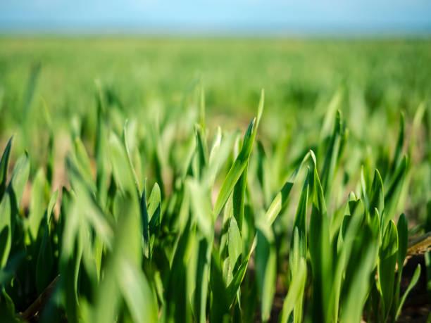 Green Field Of Wheat stock photo