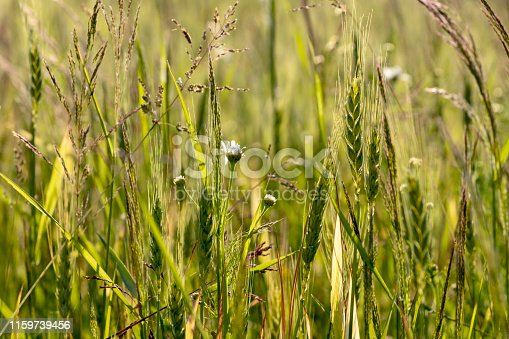 Green field of young wheat sprouts, to the horizon with a warm soft spring sun