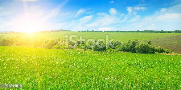 Green field, sunrise and blue sky. Agricultural landscape. Wide photo.