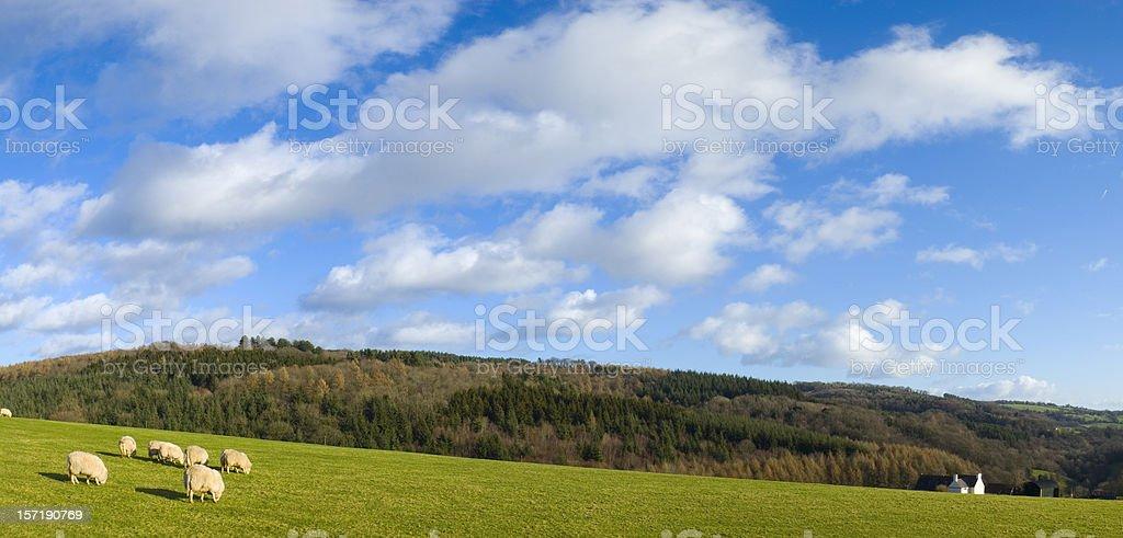 Green field, white sheep, blue sky stock photo