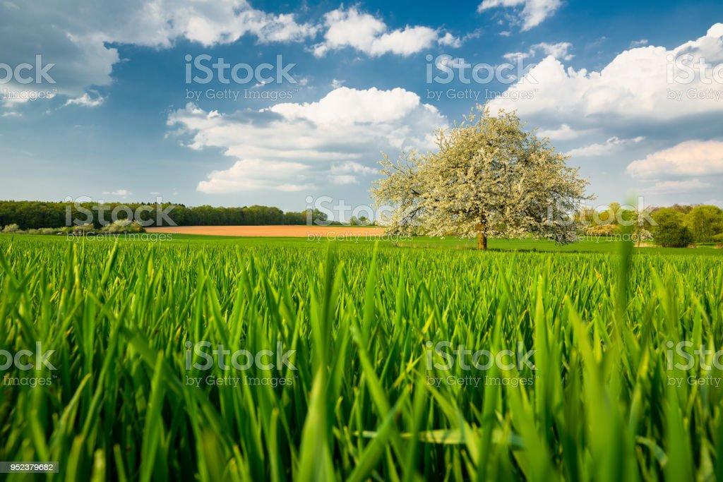 사과 나무 슐, 독일에서에서 그린 필드 스톡 사진