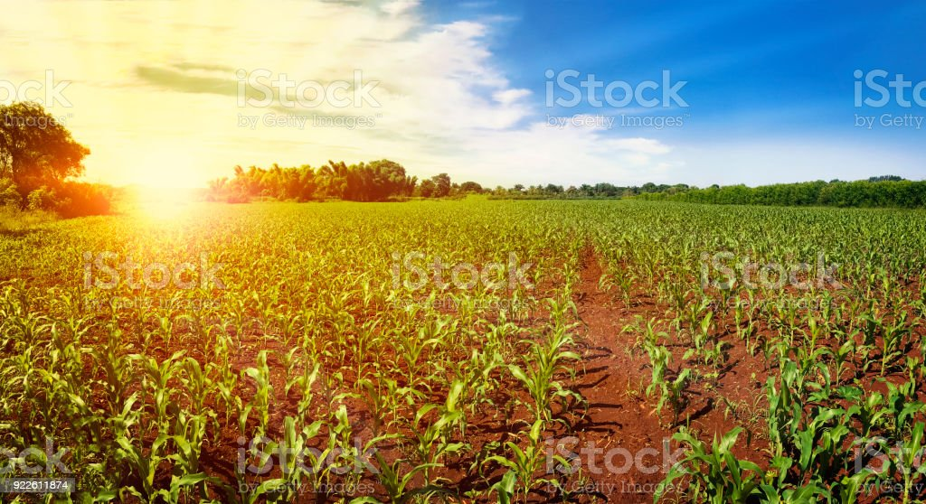 Green field with corn. Sunset on the horizon. Blue cloudy sky. stock photo