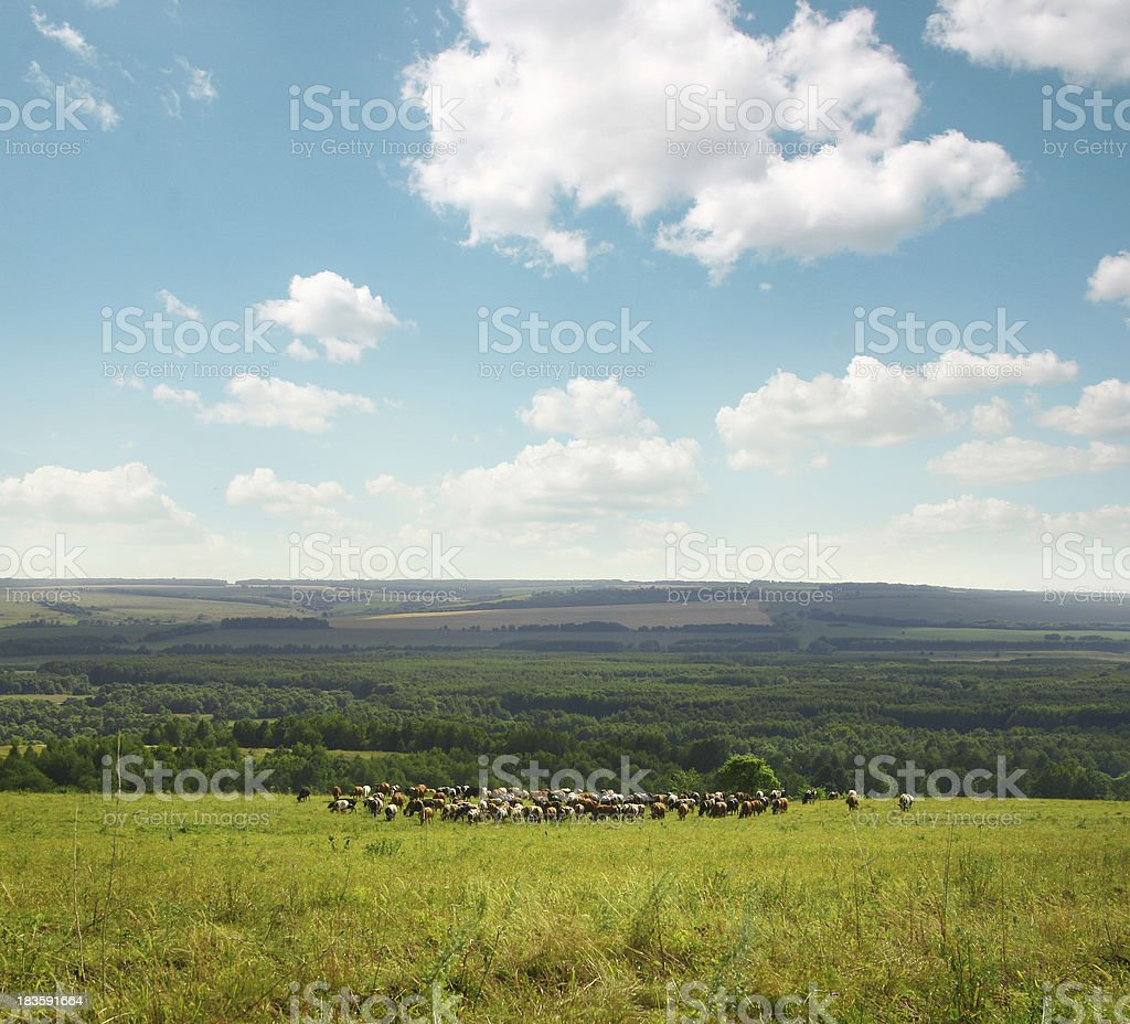 green field with cows royalty-free stock photo