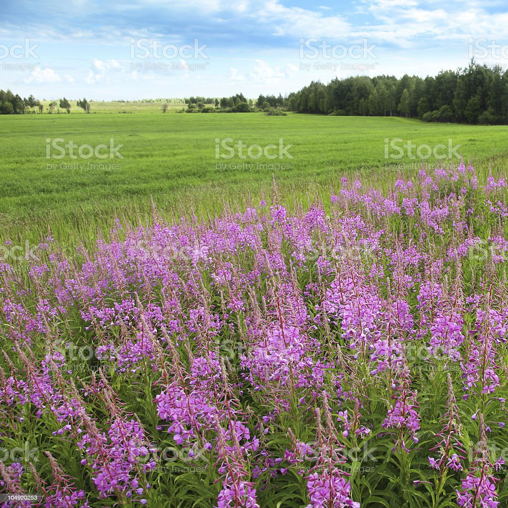 Green field with flowers and blue sky. royalty-free stock photo