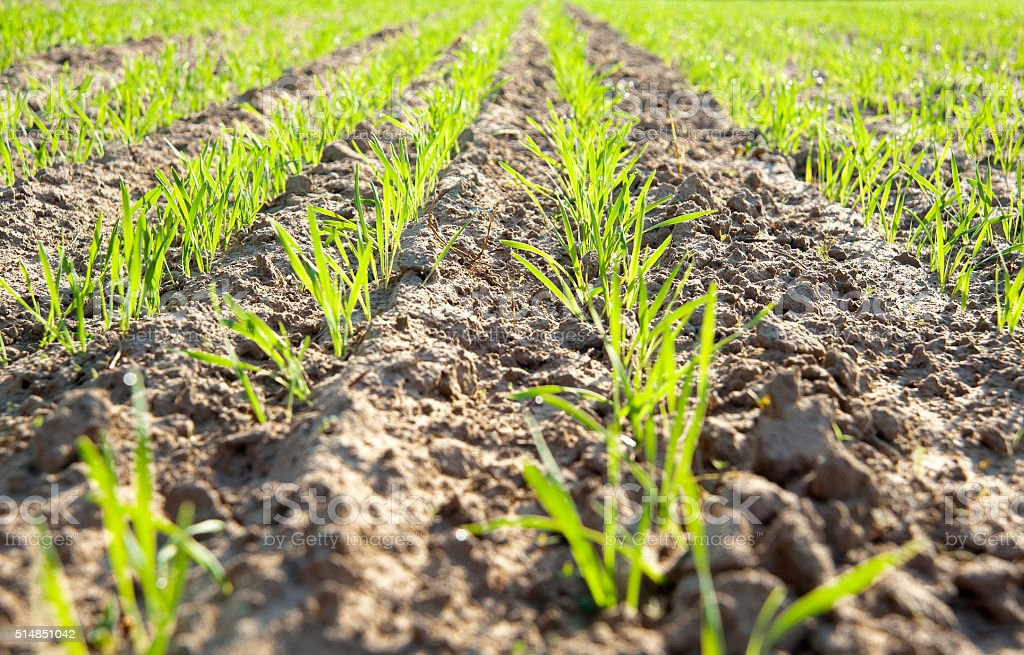 Green field with new seedlings stock photo