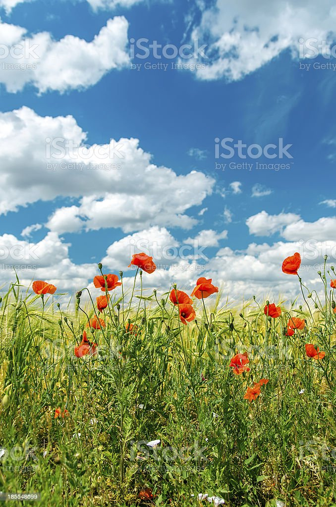 green field with red poppies and cloudy sky royalty-free stock photo