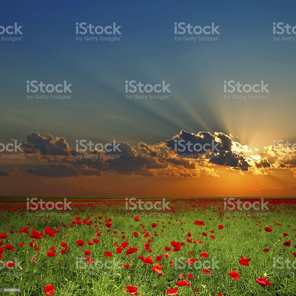 Green field with red poppies royalty-free stock photo