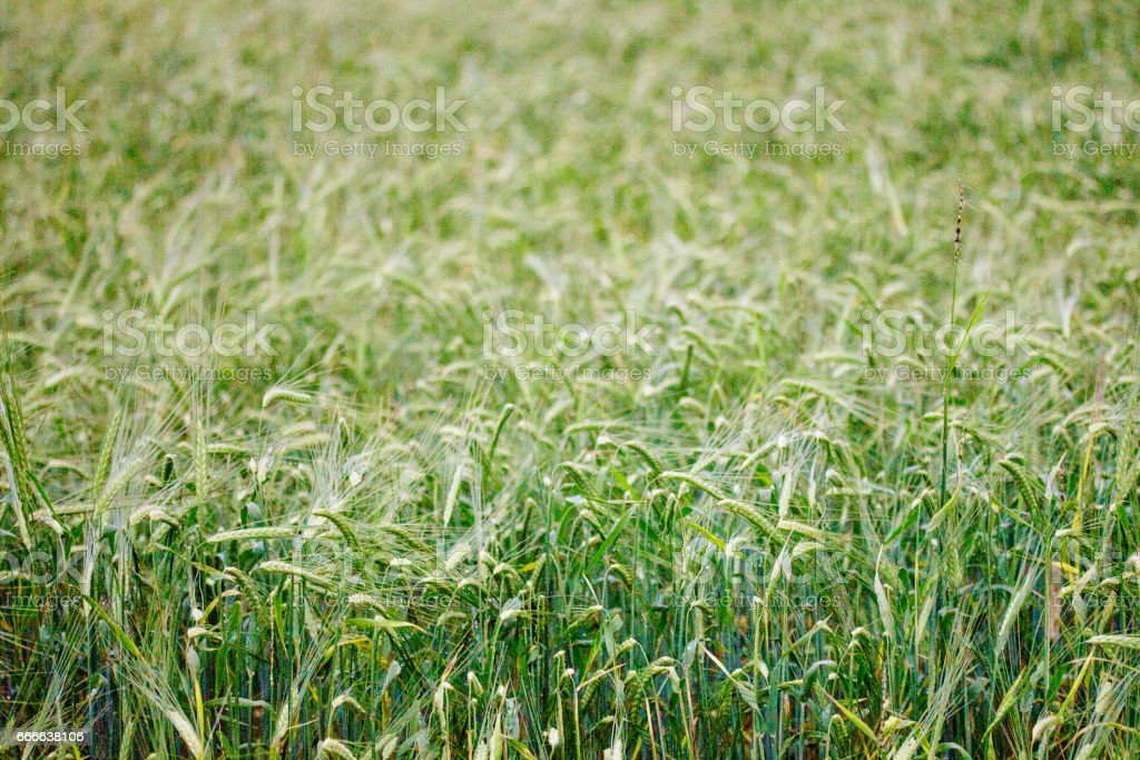 Green field with rye stock photo