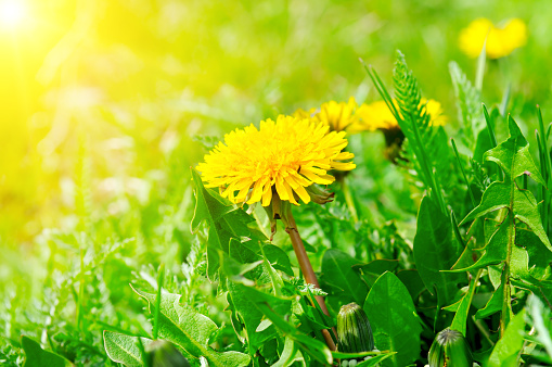 Green field with yellow dandelions and sun. Closeup of yellow spring flowers on the ground.