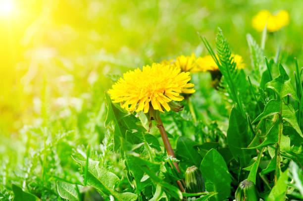 grünes feld mit gelben löwenzahn und sonne. nahaufnahme von gelben frühlingsblumen auf dem boden. - löwenzahn korbblütler stock-fotos und bilder