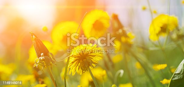 istock Green field with yellow dandelions. Closeup of yellow spring flowers on the ground. Sunny summer banner. 1149145014