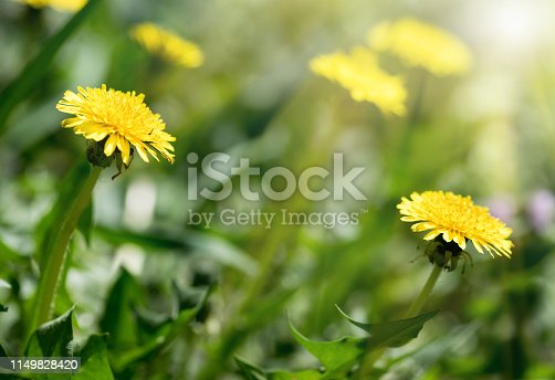 643781968 istock photo Green field with yellow dandelions. Closeup of yellow spring flowers 1149828420