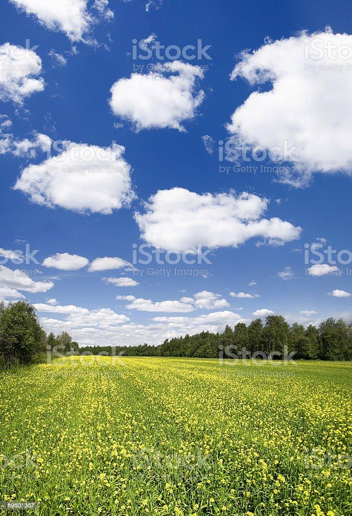 Green field with yellow flowers royaltyfri bildbanksbilder