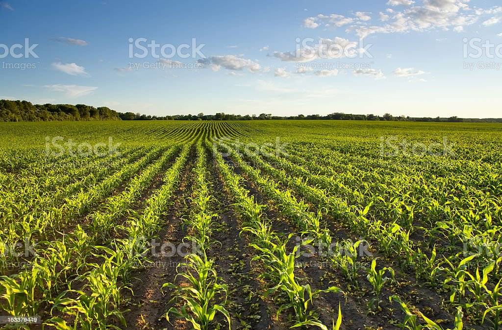 Green field with young corn at sunset stock photo