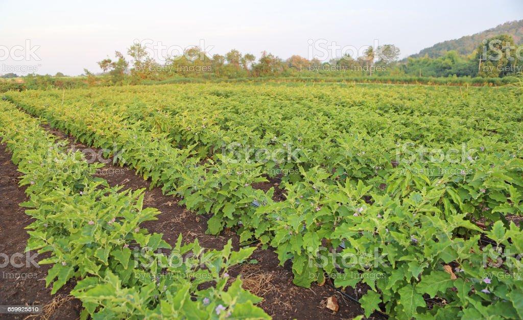 Green fields of eggplant stock photo