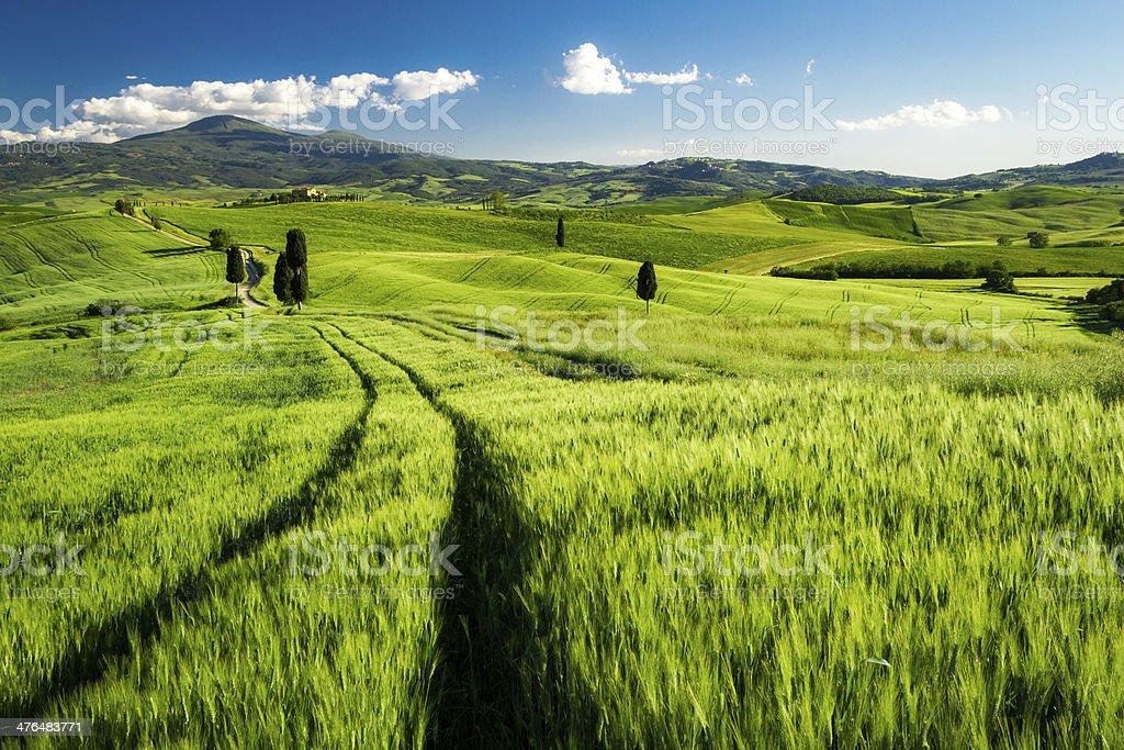 Green fields of wheat in Tuscany, Italy royalty-free stock photo