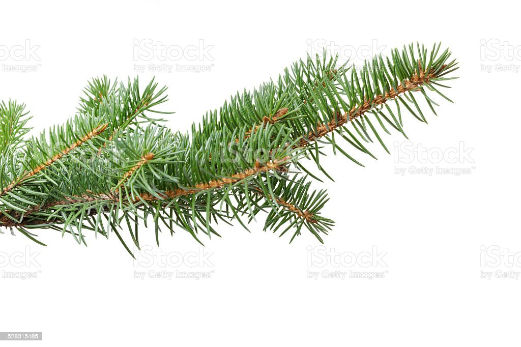 green fir branch for christmas stock photo