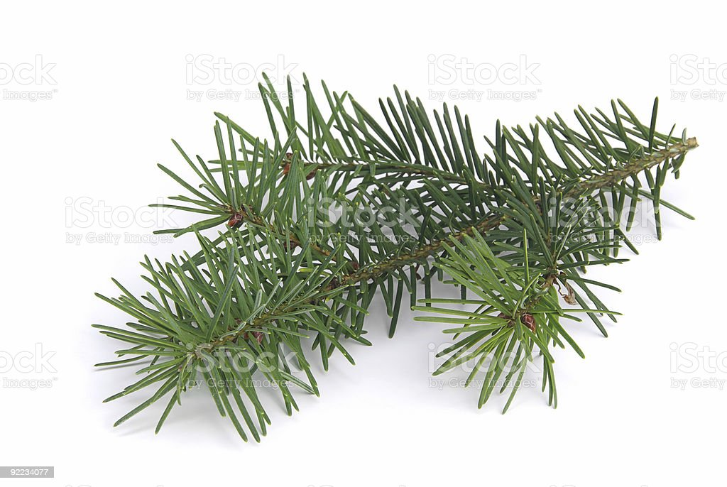 Green fir branch on white background royalty-free stock photo