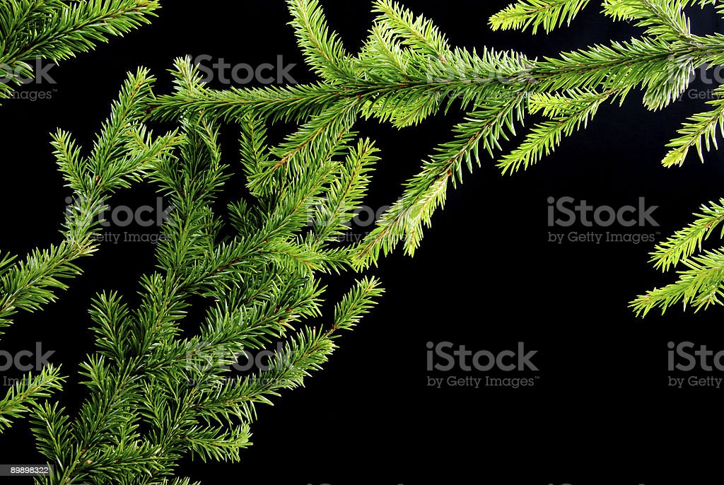 green fir branches royalty-free stock photo