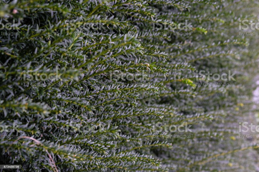 green fir hedge side view structure stock photo