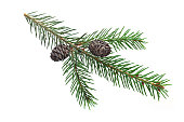 Green fir needle twig christmas symbol closed up isolated on white