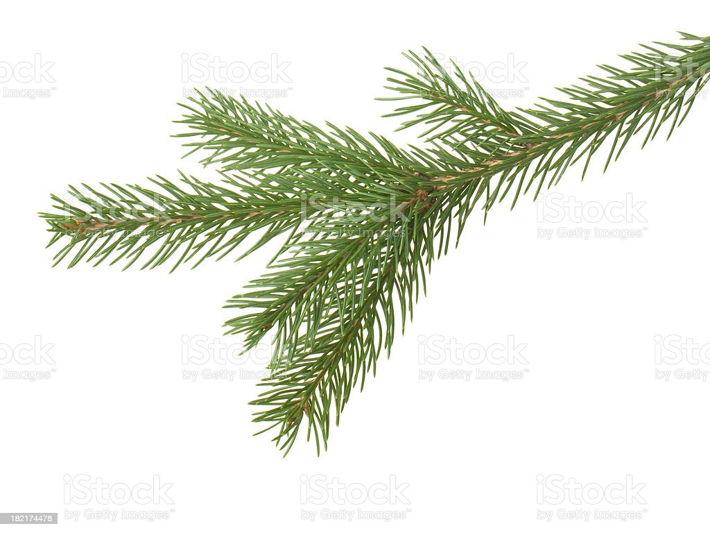 Green fir pine branch against white background stock photo