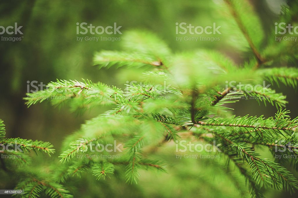 Green fir twig royalty-free stock photo