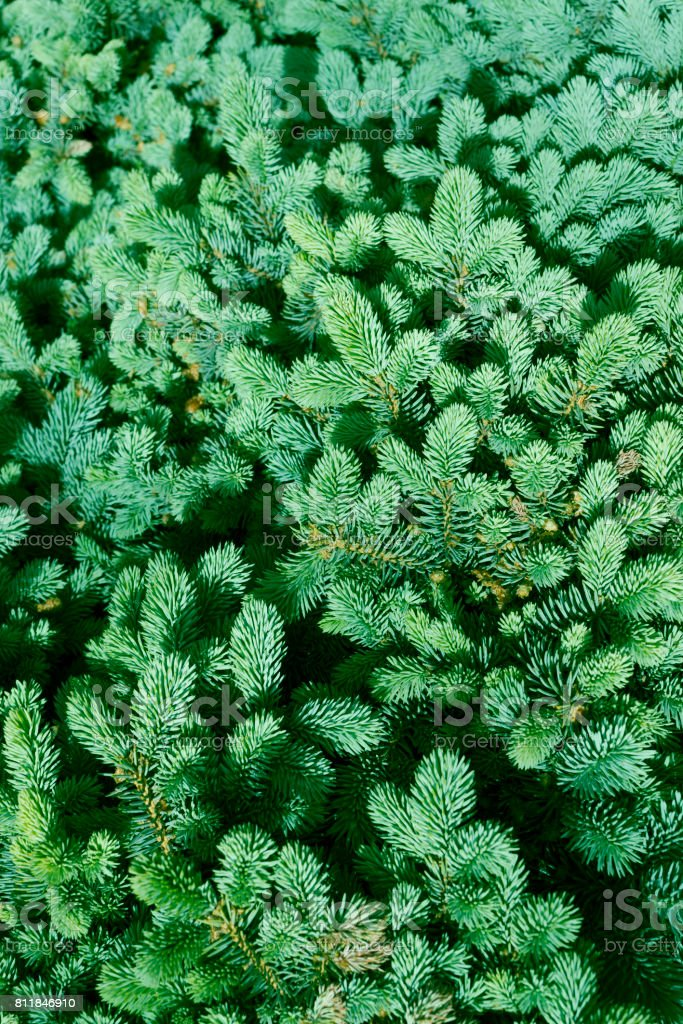 Green fir-needle nature background, spruce stock photo