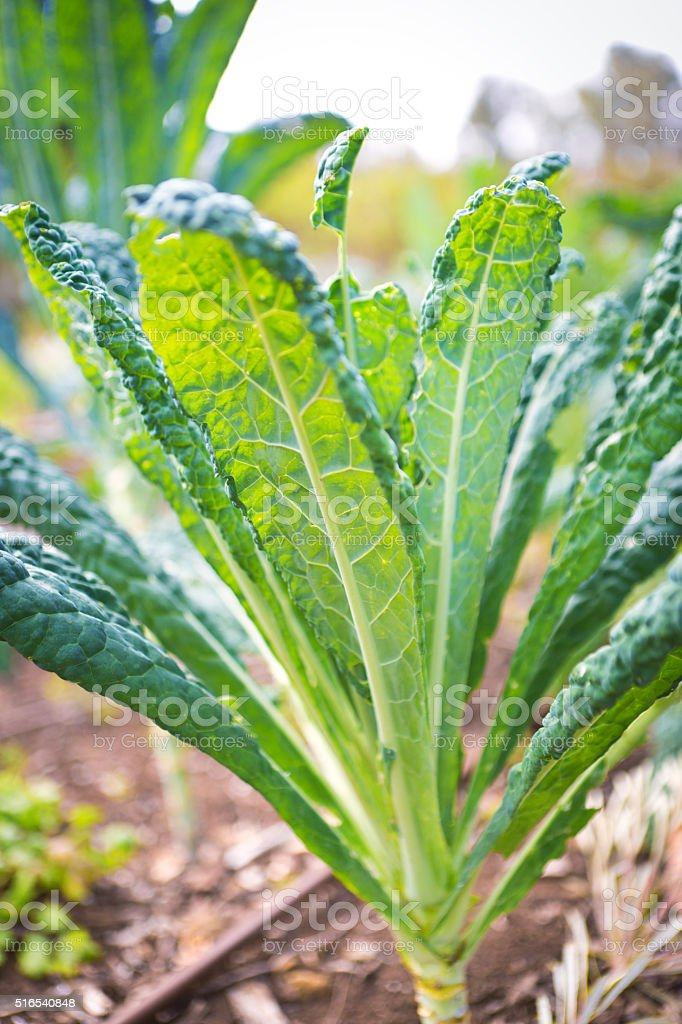 Green Flat Leaf Kale Plant in the Vegetable Garden stock photo