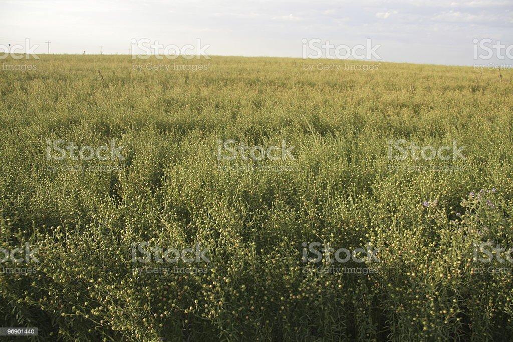 Green Flax Field royalty-free stock photo