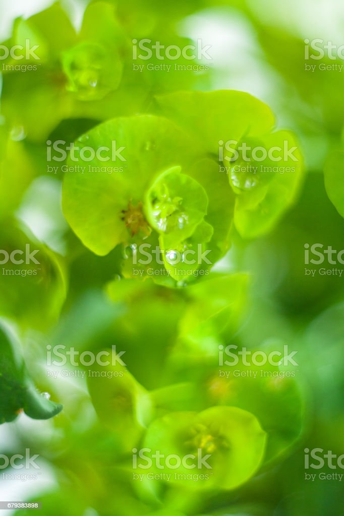 Green flower Euphorbia cyparissias cypress spurge royalty-free stock photo