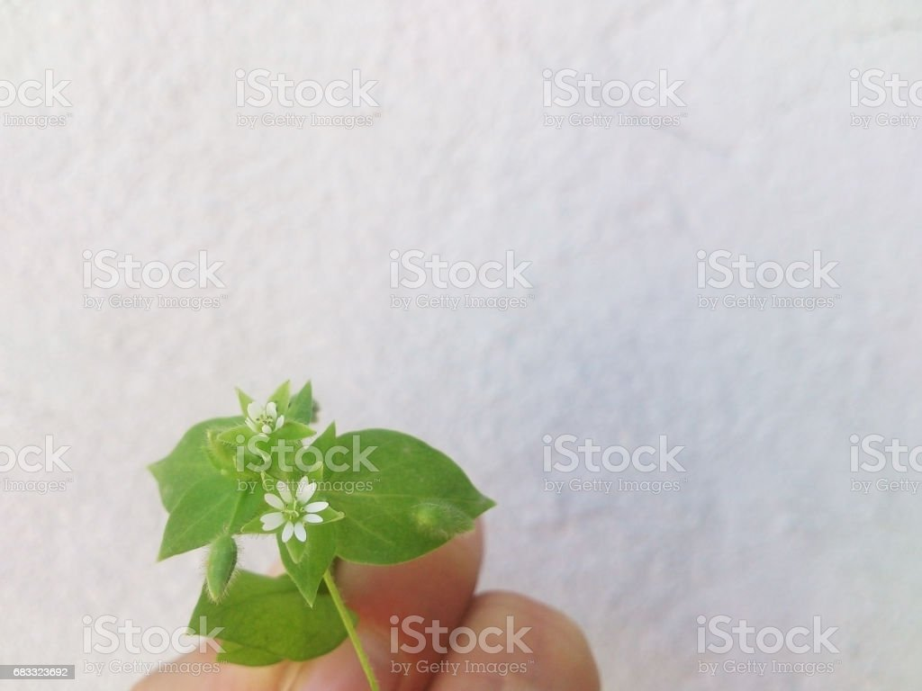 Green flower on a white background. foto stock royalty-free