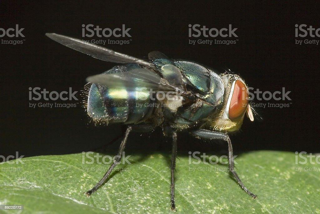 Green Fly Macro stock photo