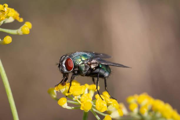 Grüne Fliege sucht Nahrung – Foto