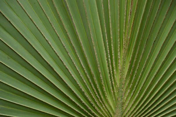 groen gevouwen blad van een plant in de hortus botanicus van Leiden Holland foto