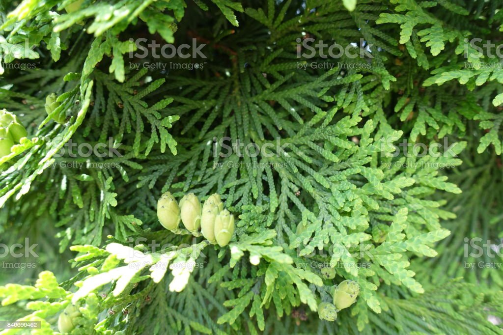 Green foliage and immature seed cones of Thuja occidentalis stock photo