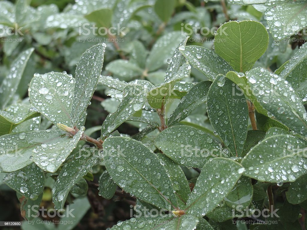 Green foliage royalty-free stock photo