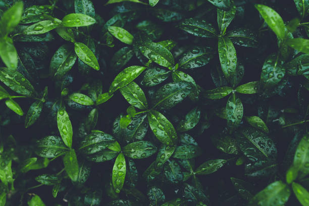 Green foliage with leaves glistening with raindrops. Green foliage with small leaves glistening with raindrops. green leaf stock pictures, royalty-free photos & images