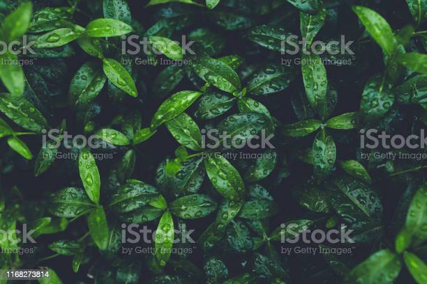 Photo of Green foliage with leaves glistening with raindrops.