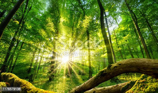 istock Green forest enchanted by the sun 1176579138
