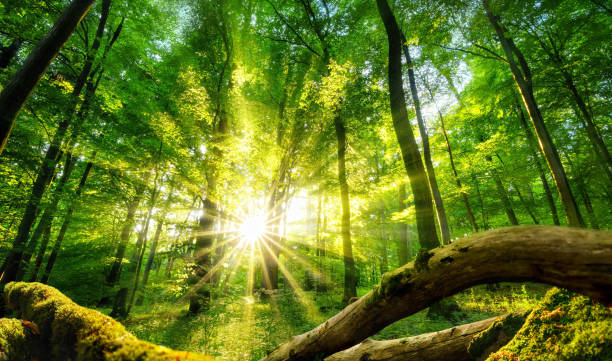 Green forest enchanted by the sun stock photo