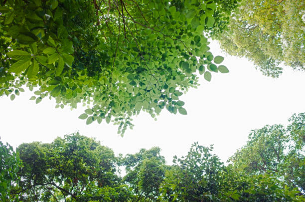 Green Forest From Below on white stock photo