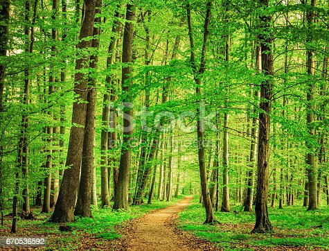 Beech Tree Forest Path