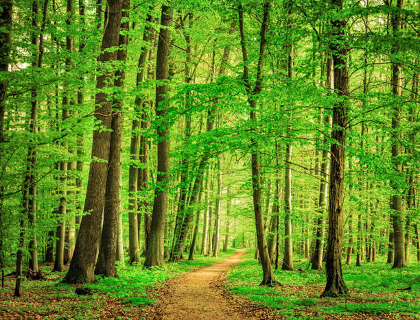 Green Forest in spring Beech Tree Forest Path beech tree stock pictures, royalty-free photos & images