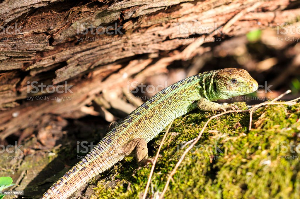 Green forest lizard sitting on a tree. Wild lizard green. Zootoca vivipara. Lacerta. royalty-free stock photo
